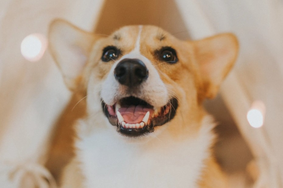 all about pembroke welsh corgis