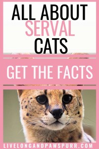 all about serval cats