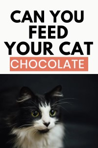 Can You Feed Your Cat Chocolate? #chocolate #catsandchocolate #cancatseat #cathealth #catquestions