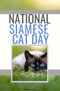 National Siamese Cat Day #nationalsiamesecatday