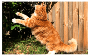 gato-maine-coon-livelong-pulo