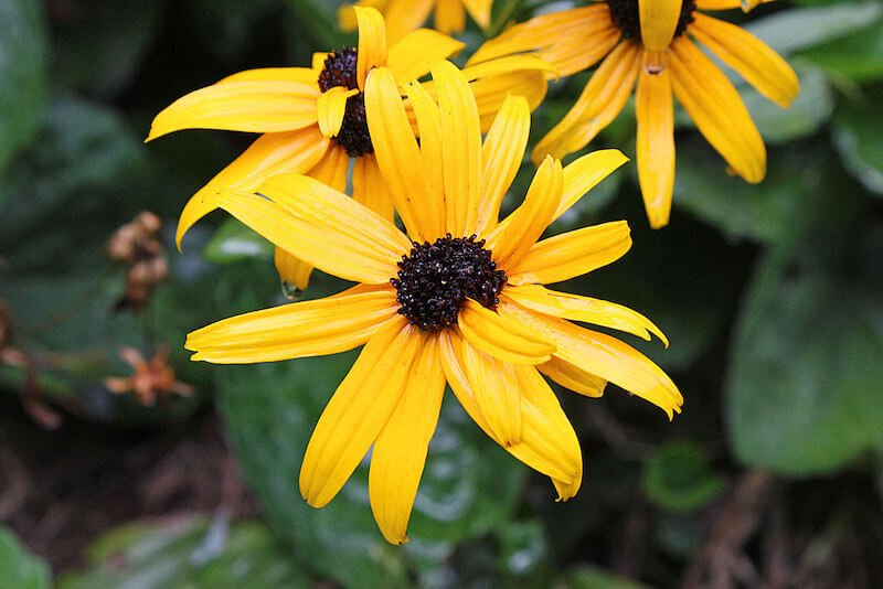 Black-Eyed Susan - Yellow Flower with Black Center