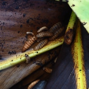 Composting with Soldier Fly Larvae