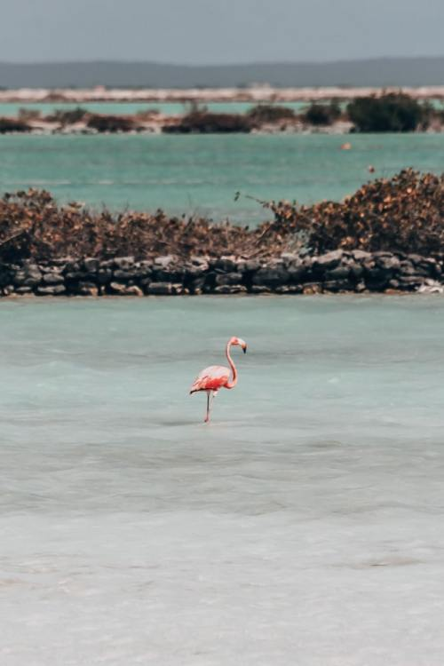 A flamingo in Bonaire's salt ponds is a common sight thanks to the preserve there. Find all the best things to do in Bonaire with locations here.