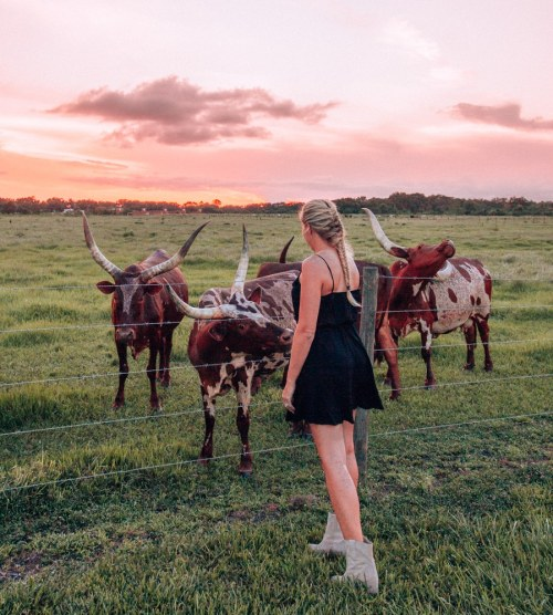 Sunset and longhorns at Westgate River Ranch