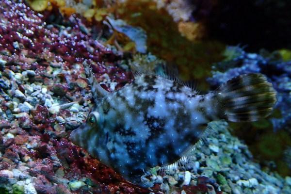 Единорог-акреихт щетинохвостый (Acreichthys tomentosus)