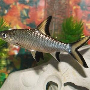 Акулий барбус (Balantiocheilus melanopterus)
