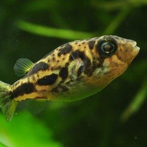 Тетрадон карликовый, или желтая рыба-шар (Carinotetraodon travancoricus)