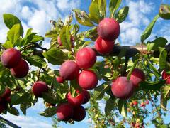 PrunusDomestica
