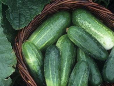david-cavagnaro-cucumber-harvest-in-a-basket-fancipak-variety-cucumis-sativus