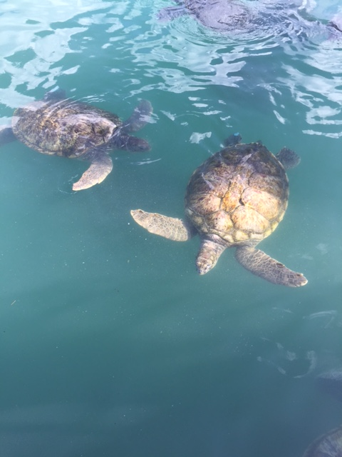 Grand Cayman turtle center