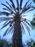 Palm Date Tree