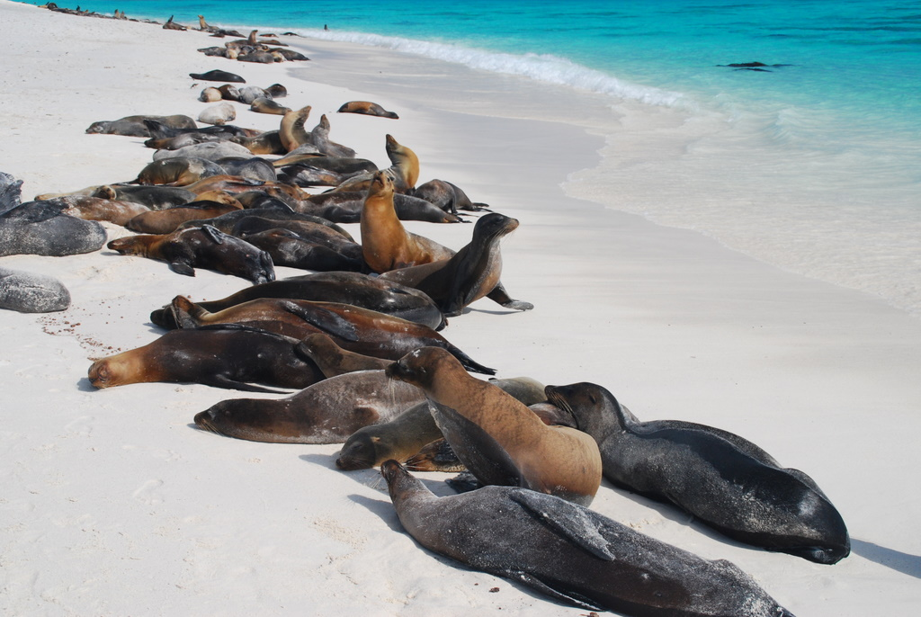 Sea Lions: The Welcoming Committee of the Galapagos