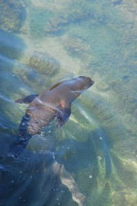 Swimming Sea Lion 2