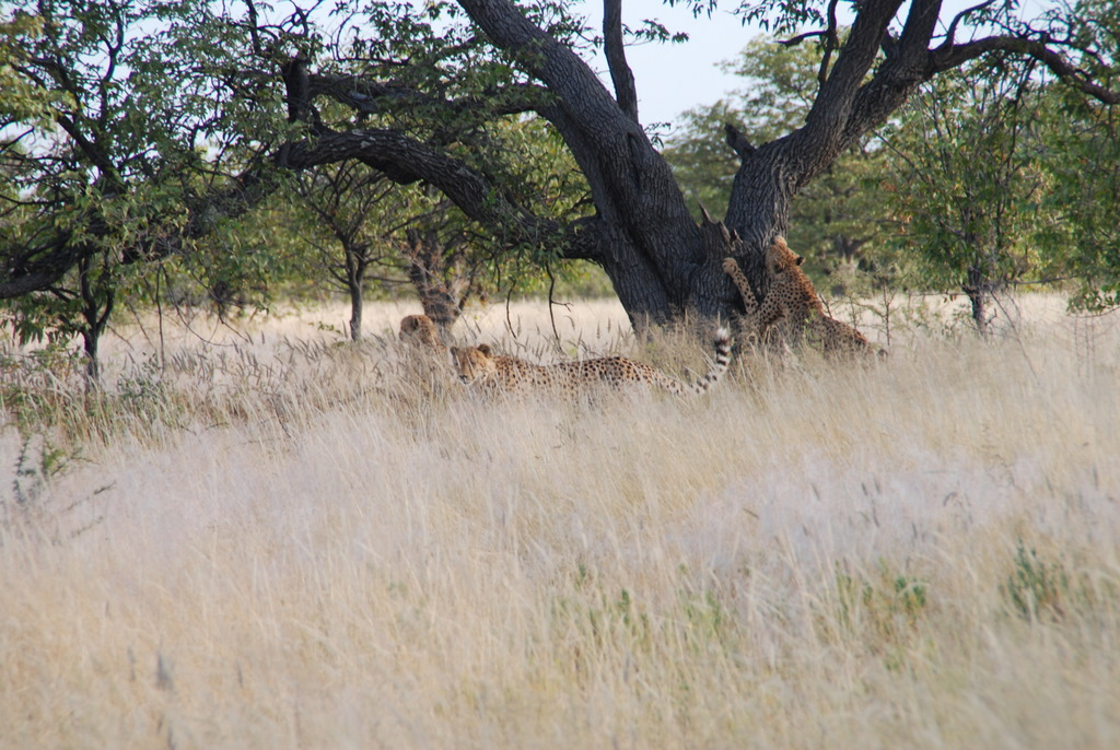 We Saw Cheetahs! (And More Lions Too)