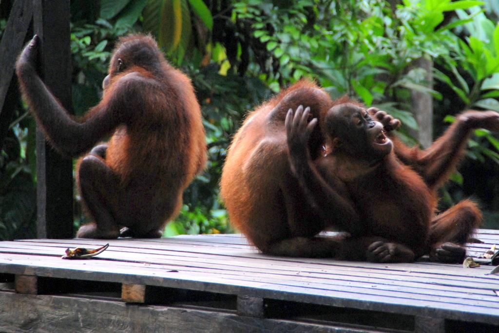 Going Ape for Orangutans