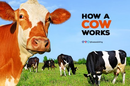 how-a-cow-works