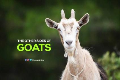 side-of-goat