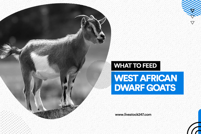What to feed west african dwarf goats