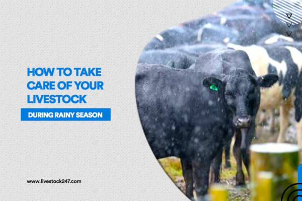 How to take care of your livestock during rainy season