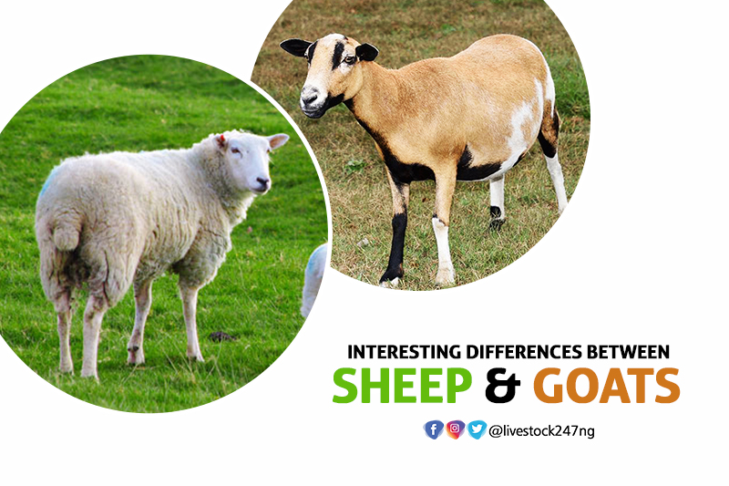 Interesting Differences between Sheep and Goats