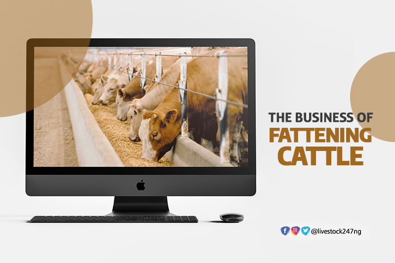 The Business of Fattening Cattle