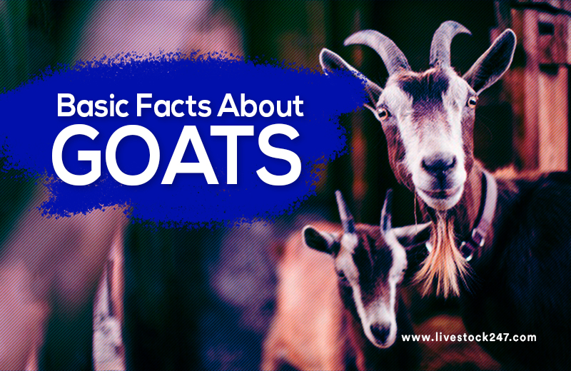Basic Facts About Goat