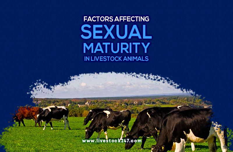Factors Affecting Sexual Maturity in Livestock Animals.