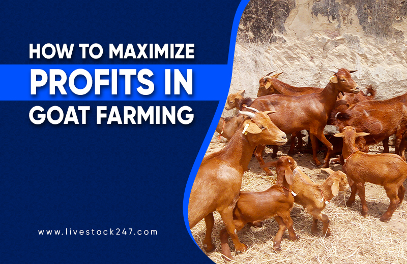How to maximize profits in Goat Farming