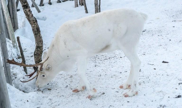 reindeer-2144791.jpg