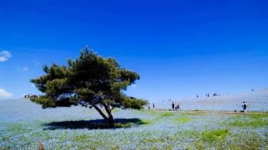 Hitachi Seaside Park Nemophila - Ibaraki 07