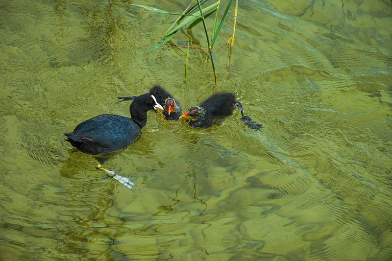 Coot family @ Herreninsel