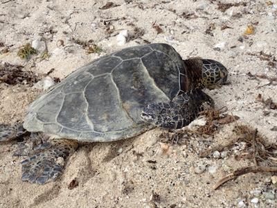 Stumbling Across Turtles in Kailua-Kona, Hawaii