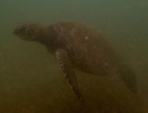 hawaii-turtles4-sml