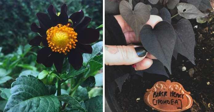 Uitați-vă la grădina plină cu multe soiuri de flori negre şi aflați cum puteți avea una la fel
