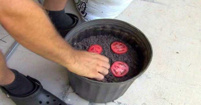 Cum să creșteți roșii acasă folosind câteva felii de roșii, un ghiveci și pământ