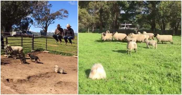 Un câine pechinez a văzut oi pentru prima dată. Priviți ce fel de cățel a fost după ce s-a întâmplat asta!