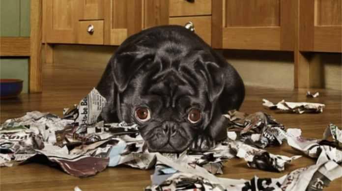 10 câini care regretă cu adevărat ce au făcut
