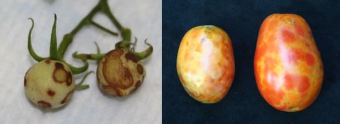 tomato diseases - Livewellutah.org