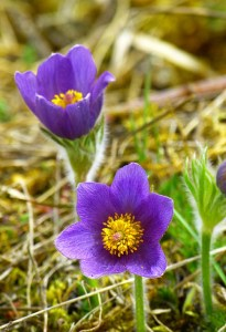 Pasque Flower Blog