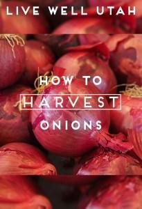 Harvest Onions