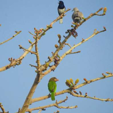 Oriental Magpie Robin, Collared Dove and Brown-headed Barbet