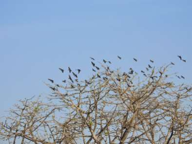 Rosy Starlings Flock Semal Mar 30
