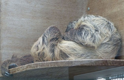Sleeping sloth in the Wilhelma in Stuttgart