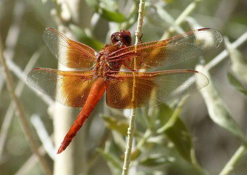 A desert dragonfly??
