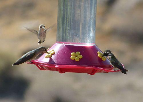 Three feeding hummingbirds