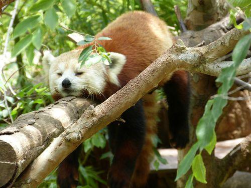Red panda at San Diego Zoo