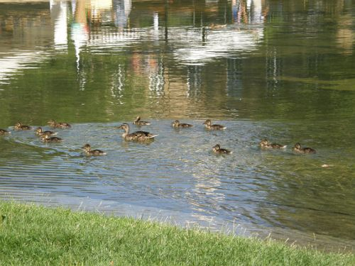 Ducks swimming in Ecksee.
