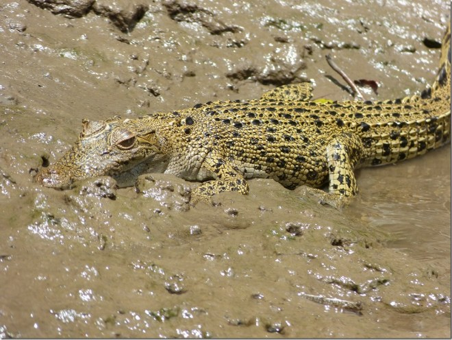 daintree_river_crocodile3.jpg