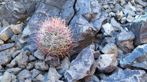 day-17-ferrocactus-acanthodes
